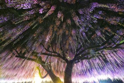 wisteria_cover