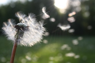 wind blown dandelion