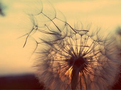 summer to fall dandelion