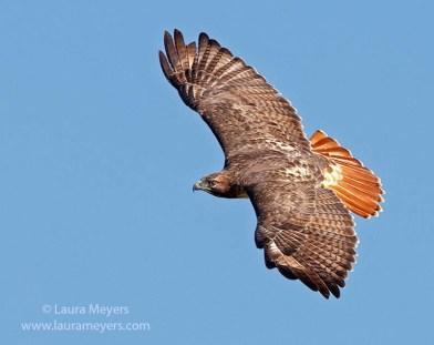 HAWK Red-tailed-Hawk-in-flight-SLL-5476