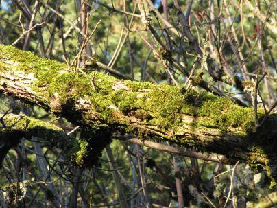sagging cedars with moss