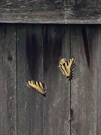 butterfly against fence mine
