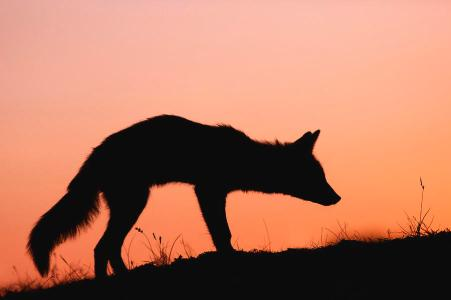 fox red-fox-silhouette-at-sunset-roeselien-raimond