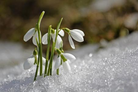 january inspiration snowdrop